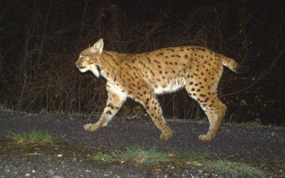 Réactions de Diana Romande suite à l'émission Mise au Point sur le braconnage du lynx
